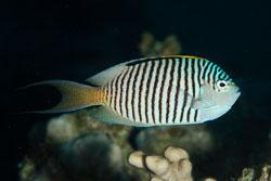 BD-150224-Ras-Mohammed-6531-Genicanthus-caudovittatus-(Günther.-1860)-[Zebra-angelfish].jpg